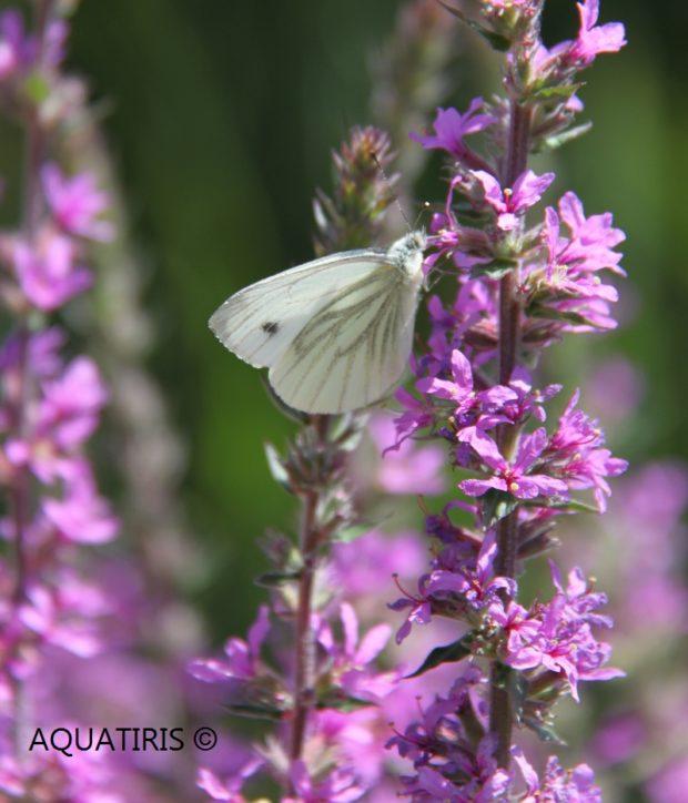 Biodiversité papillon